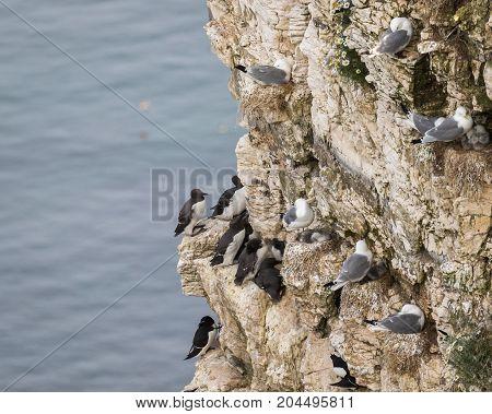 Nesting Kittywakes Guillemots and Razorbills on a cliff in coastal Northern UK