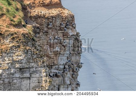 Nesting Kittywakes and Razorbills and other seabirds on a cliff in coastal Northern UK