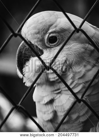 Close-up and monochrome image of unhappy Cockatoo (Cacatua Vieillot) bird imprisoned in cage. Cruelty animal concept.