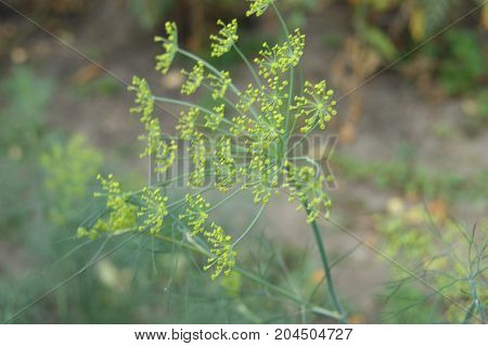 in the summer, a dill of green dill blooms in the garden