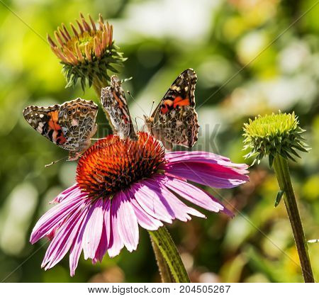 Three painted lady butterflies standing on a purple coneflower in a garden on a sunny summer afternoon.