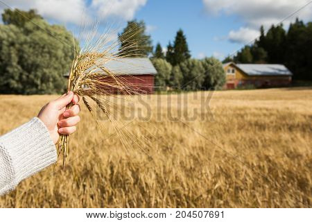 Farmer with branches of wheat in the hands on the background of the field
