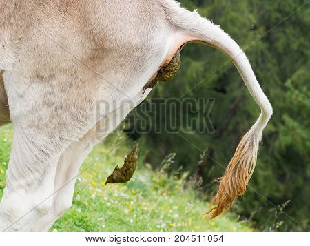 Cow Pooing On A Field