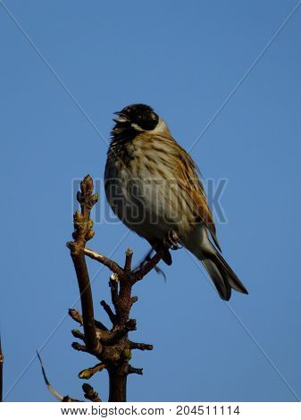 Male reed bunting singing from tree branch