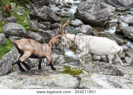 Goats At A River Near Foroglio