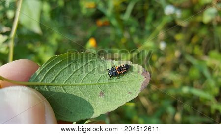 a ladybug nymph sitting under a leaf.