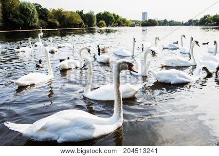 Beautiful White Swan With The Family In Swan Lake, Romance, Seasonal Postcard.