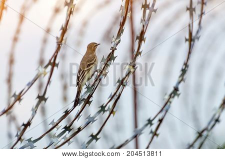 A bird sits on a sharp barbed wire fence