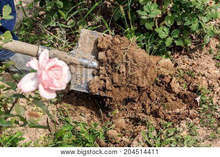 shovel digs the earth in the flower garden. garden tools