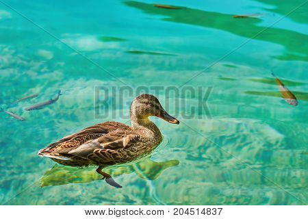 Duck on the Lake with Transparency Water