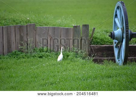 cattle egret walking in the grass on a rainy day
