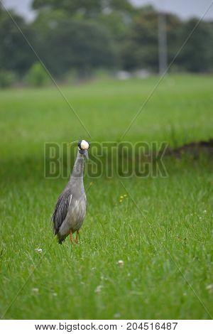 yellow crowned night heron seen in louisiana