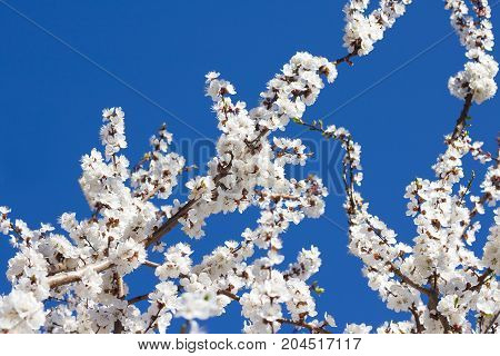Flowering apricot tree branches against blue sky
