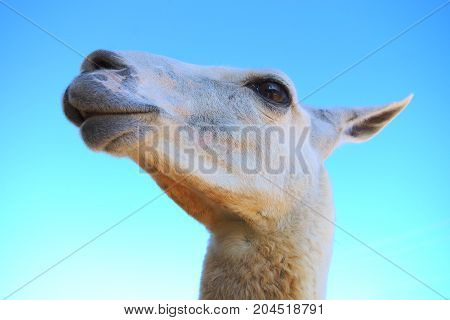 white alpaca lama portrait farm mammal wool