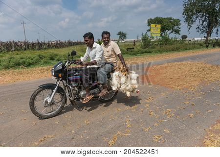 Mellahalli India - October 27 2013: Two young men on motorbike transport bunch of living chickens to market. Driving through landscape with fresh harvested buckwheat spread on road surface to be threshed by traffic.