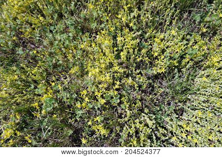 Sedum acre, commonly known as the goldmoss stonecrop, mossy stonecrop, goldmoss sedum, biting stonecrop, and wallpepper, blooms on a lawn in Bay View, Michigan, during June.