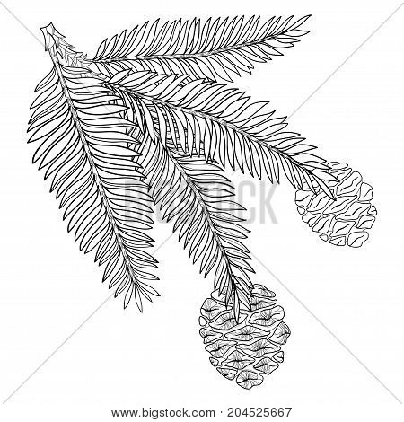 Vector branch with outline Sequoia or California redwood in black isolated on white background. Branch of coniferous tree with pine and cones in contour style for botanical design and coloring book.