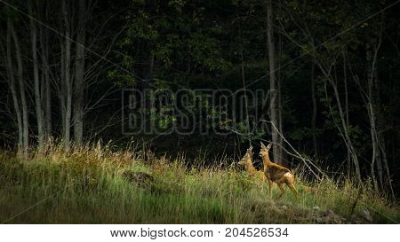 Two roe deers in the shady woods behind