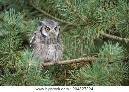 An alert looking white faced scops owl perched a branch in a tree staring forward with large orange eyes