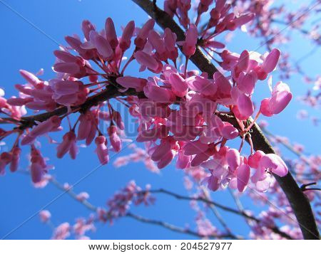 Redbud blooms in the Spring time in Tennessee.