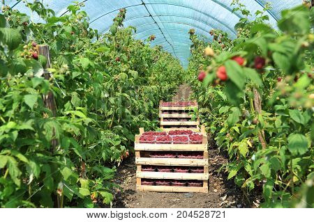 Fresh picked strawberries in the basket inside greenhouse