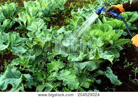Gloved Man Hand Watering Brassicas Cabbages
