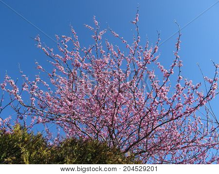 A blooming Redbud tree in the Spring.