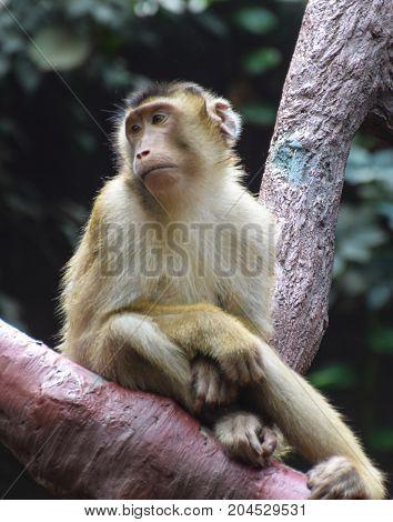 A Rhesus Macaque monkey looking sad sat on a tree