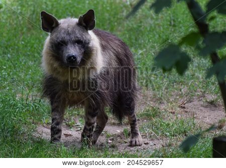 A Photo of a Hyena looking at the camera