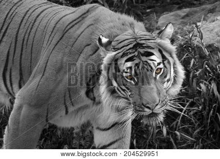A Black and white shot of a tiger prowling through grass with the eyes left in colour