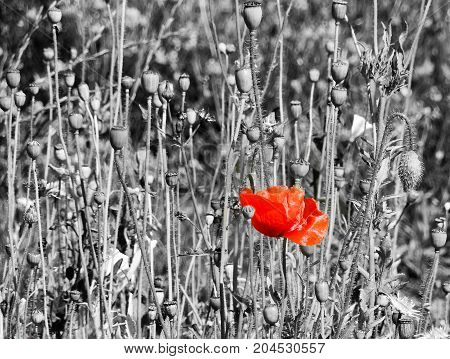 A red poppy against a Black and white field of plants
