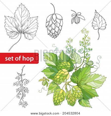 Vector set with ornate Hops or Humulus. Cones, leaves, branch in black isolated on white background. Outline Hops for beer and brewery decor. Elements with hops in contour style for organic design.