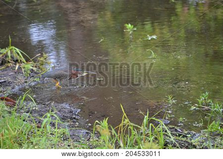 adult green heron wadding in shallow waters