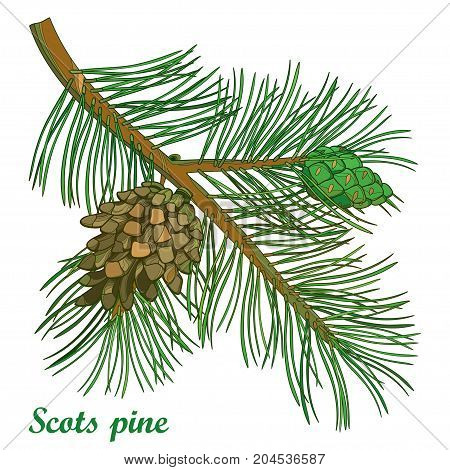 Vector branch of outline Scots pine or Pinus sylvestris tree. Bunch, pine and cones isolated on white background. Coniferous tree in contour style for Christmas or botanical design.