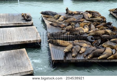 Sea lion in san francisco pier California USA