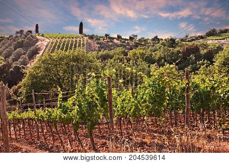 Tuscany, Italy: landscape at sunset of the green hills with vineyard for production of Italian wine Chianti