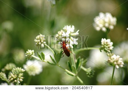 The close-up of a red soldier beetle on a flower umbels from dorycnium.