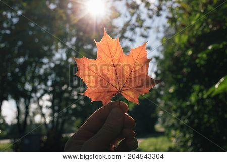 autumn maple leaf in hand on sun background