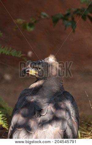 African Crowned Eagle Stephanoaetus Coronatus
