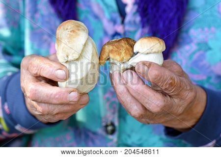 Hands of an elderly woman holding a white mushroom.