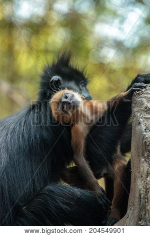 Mother And Child Francois Langur Monkey Family Trachypithecus Francoisi