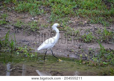 snowy egret walking in the shallows and reflected in the water