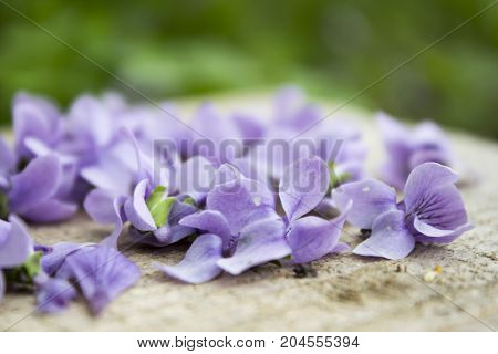 Light Purple Spring Flowers And Petals On A Wooden Table In The Garden