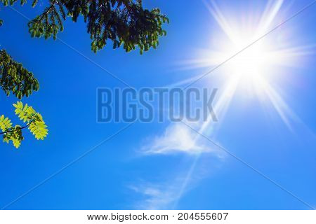 Sultry sun in the blue sky green spruce tree