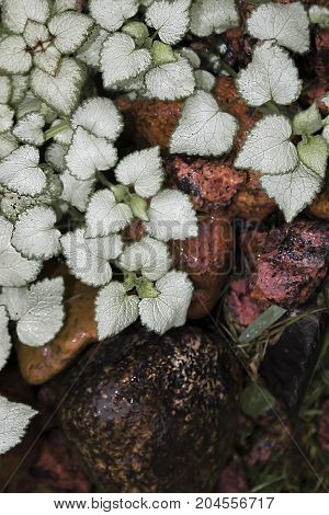 Purple white dead nettle in the garden. Ground cover plant for alpine hills. White leaves and pink flowers.