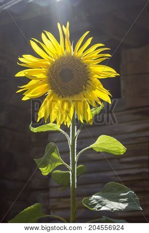 One sunflower flower in the sun in the summer