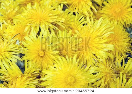 Beautiful Yellow Dandelion Flowers