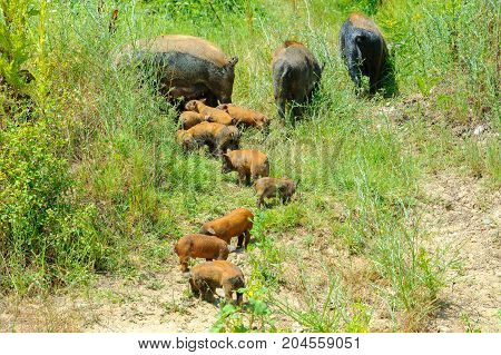 a large family of wild boars walking in the woods in search of food
