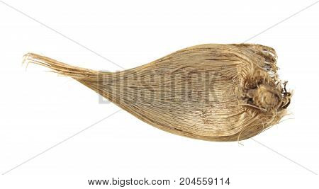 Bulb of Danford iris or dwarf iris (Iris danfordiae) isolated on white background