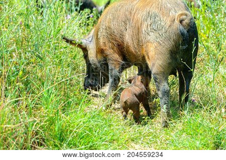 family of wild boars walking in the woods little pig drinking milk in their mother